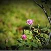 2016-11-17_PB170016_roses,Clwtr,Fl