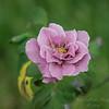 Angel face rose,Clwtr,Fl-- 2018-08-21-8210003
