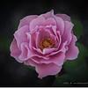 2016-11-23_PB230008_Angel Face  Rose,Clwtr,Fl