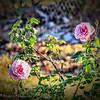 Angel Face Rose_P1110017_vib,colsat3 0,whitcl7 0,cont ligh +24_2017-01-11
