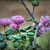 2016-11-28_PB280012_painterly,lum -4 6_Angel Face Rose,Clwtr,Fl