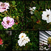 Collage of Roses 2014-10-14