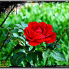 Don Juan Rose_Image00007