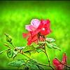 P4150002_P fragrant cloud rose