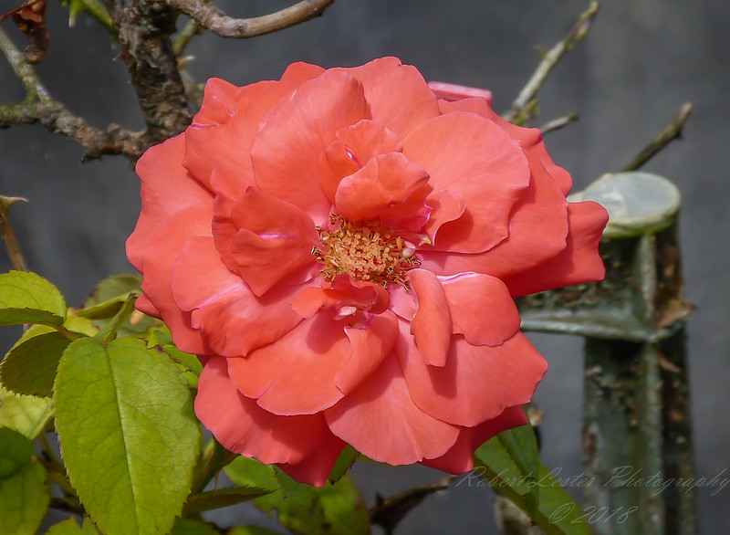2017-10-13_P1110074_  Fragrant Cloud Rose