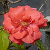 2017-10-13_P1110074_  Fragrant Cloud Rose