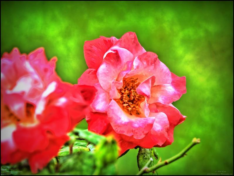 P4150005_P fragrant cloud rose