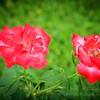 2019-08-13_ 1500 pl5 12x40 f5 6 ap fragrant cloud rose__8130003_photograhic