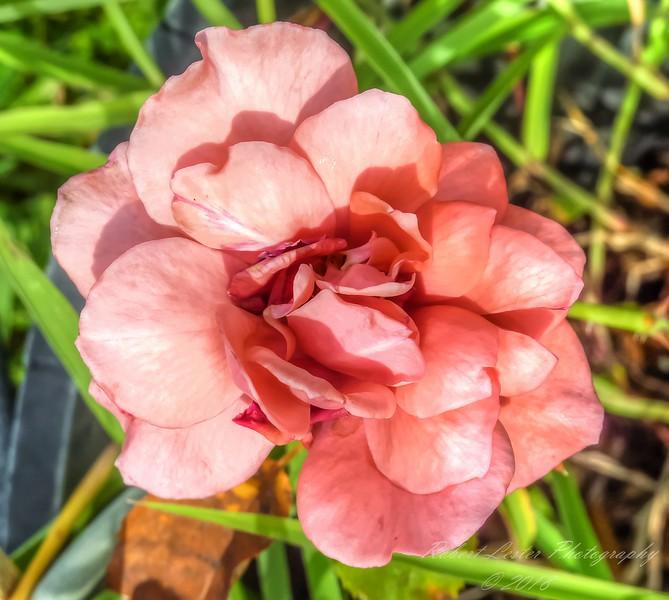 Fragrant Cloud Rose,2018-07-14,amfull,crop-1150034_2 - Yesterfeller