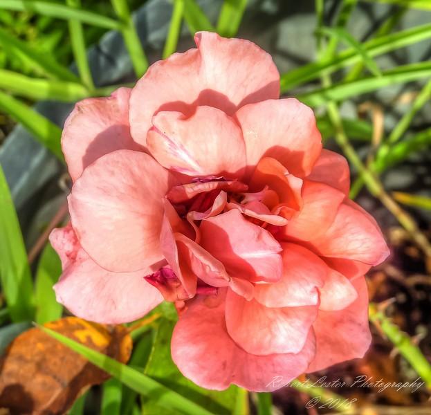 Fragrant Cloud Rose,2018-07-14,amfull,crop-1150033_2 - Yesterfeller