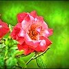 P4150015_IA fragrant cloud rose