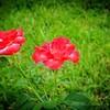 2019-08-13_ 1500 pl5 12x40 f5 6 ap fragrant cloud rose__8130012_photograhic