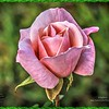 _C100003_ fragrant cloud rose2