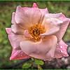 _C110004_ fragrant cloud rose_ vibrant,nr0