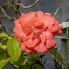 2017-10-13_P1110075_  Fragrant Cloud Rose