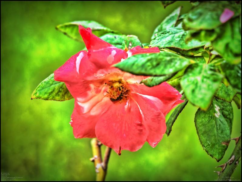 P4150007_P fragrant cloud rose