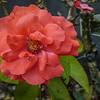 2017-10-13_P1110105_Fragrant Cloud Rose