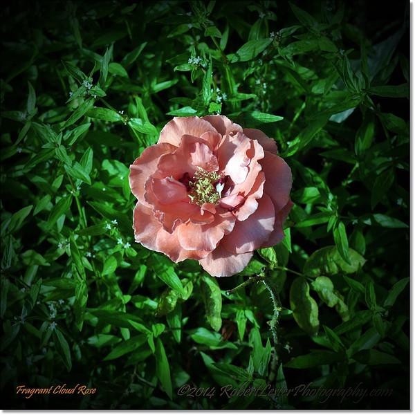 Fragrant Cloud Rose