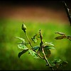 P4100015_Fragrant cloud rose buds