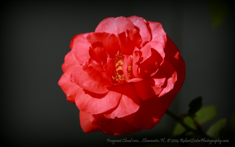 Fragrant Cloud rose....Clearwater,Fl...© 2014 RobertLesterPhotography.com