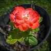 2019-08-21_1600 a6000 16x50 ap Fragrant Cloud rose__DSC0578