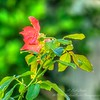 2019-07-31_m1 300mm pmode f10 eb0 iso640 meterspot roses fragrant cloud__7310013_detailed