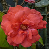 2017-10-13_P1110104_Fragrant Cloud Rose