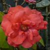 2017-10-13_P1110104_Fragrant Cloud Rose