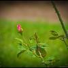P4120073_Fragrant Cloud rose bud