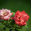 PA250006_  fragrant cloud rose