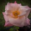_C110004_ fragrant cloud rose
