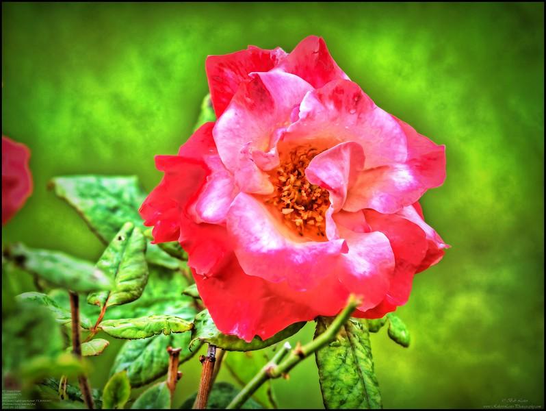 P4150003_P fragrant cloud rose