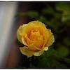 June 17,2013_IMG_2796_ My Roses