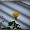 June 17,2013_IMG_2801_ My Roses