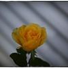 June 17,2013_IMG_2802_ My Roses