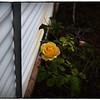 June 17,2013_IMG_2795_ My Roses