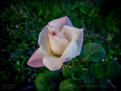 2019-04-23_ pl512x40 creative high society rose _P4230008