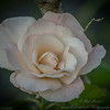 2018-11-20_high society rose_(vig-10)