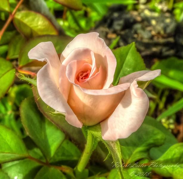 High Society Rose,2018-07-14,amfull,crop-1150032_2 - Yesterfeller