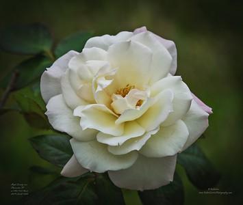 _C220001_ap High Society rose