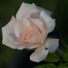 2017-10-09_PA095792_high society rose,clwtr