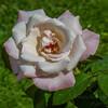 2017-10-13_P1110071_  High Society Rose