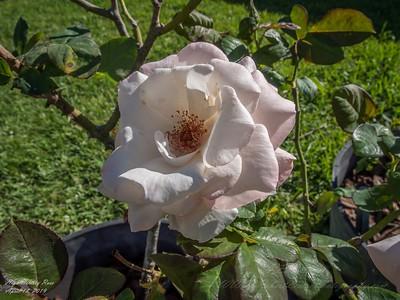 2019-04-18_pl5 12x40 nature macro high society rose_P4180004