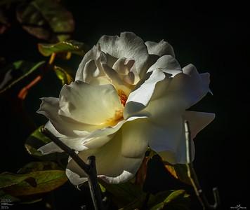 High Society rose