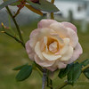High Society rose    (am workflow)   2018-03-08-3080004