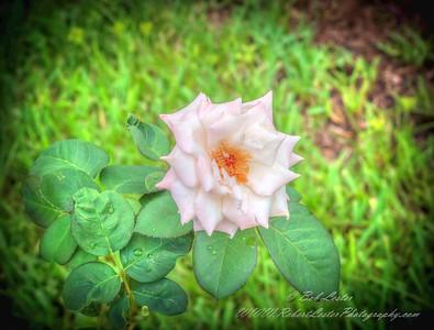 2019-08-13_ 1500 pl5 12x40 f5 6 ap high society rose__8130005
