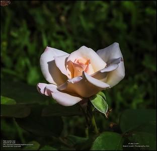 P5300039_High society rose