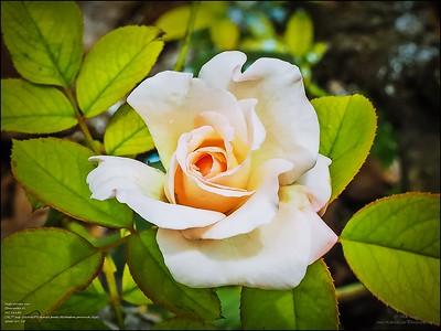 P7150006_ High society rose