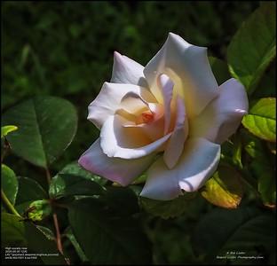 P5300040_High society rose