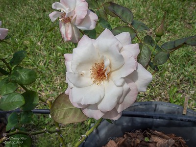 2019-04-18_ pl5 12x40 nature micro high society rose_P4180001